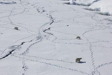laidre_polar_bears_greenland_375x250