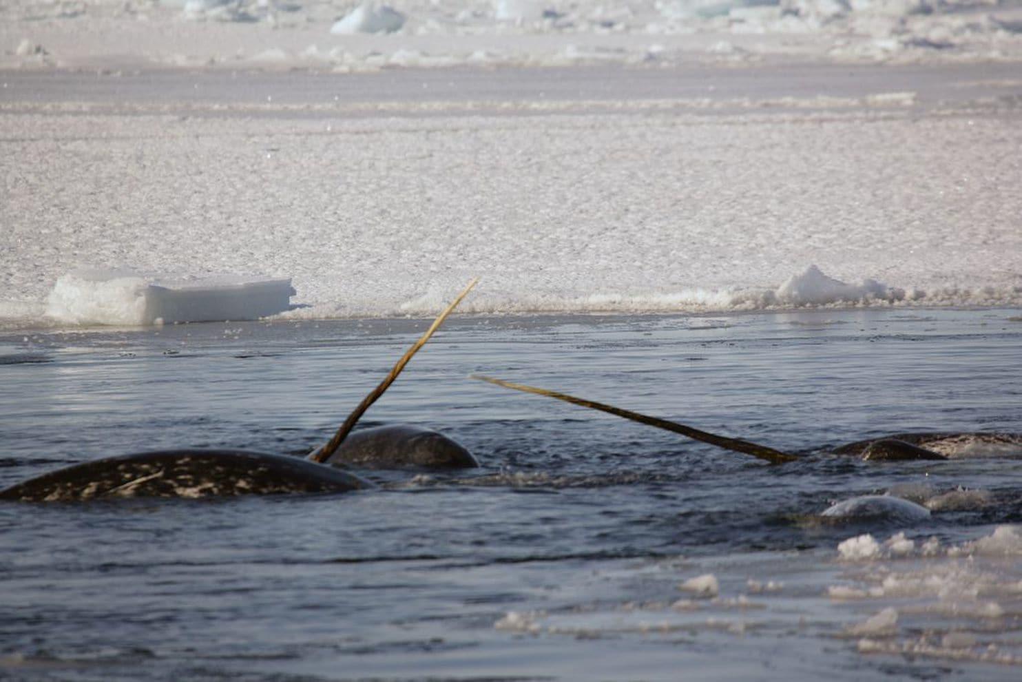 Narwhals off Greenland. (Mads Peter Heide-Jørgensen)