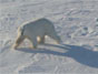NASA polar bears_LaidreSternBorn