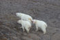 Polar bear mother and two cubs in Canadian High Arctic (Photo Credit: Kristin Laidre)